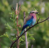100_5420<br /> Lilac-breasted Roller