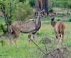 100_6933<br /> Male and female Kudu