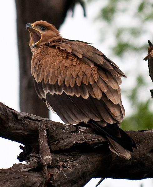 100_6861<br /> Tawny Eagle vocalizing.