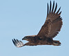 "100_5916<br /> An immature Bateleur Eagle (short-tailed eagle). ""Bateleur"" is French for ""tight-rope walker"".<br /> The eagle hunts over a territory of 250 square miles a day."