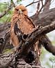 100_5252<br /> Tawny Eagle