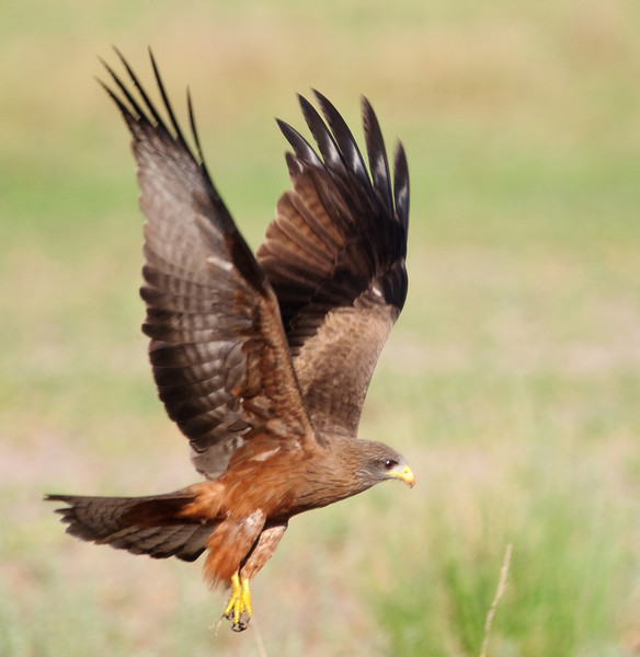 100_5841<br /> Yellow-billed Kite in flight.