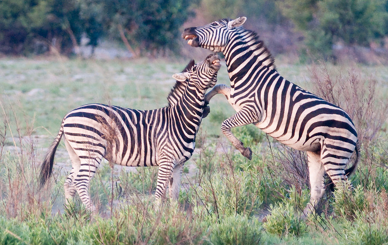 100_5743<br /> Zebras at play.