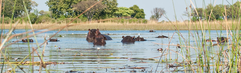 100_7503<br /> Hippos giving us the stink eye. This was our scariest moment, as we were in mokoros (canoes) and couldn't escape quickly if we had to run for it.