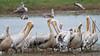 100_5297<br /> White Pelicans