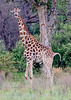 "100_5262<br /> One Giraffe is called a ""cop"", weird, eh?"