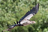 100_5938<br /> Secretary Bird in flight.