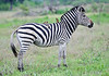 100_6920<br /> Plain's Zebra with Oxpeckers