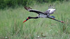 100_5398<br /> The beautiful Saddle-billed Stork in flight.