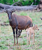 100_5278<br /> Common Tsessebe Antelope and baby