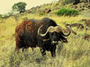 Although Mokala doesn't have carnivores, it is still forbidden to leave the vehicle because of Cape buffalo (Syncerus caffer) and both white and black rhino roaming freely.