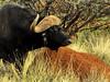 Cape buffalo (Syncerus caffer),