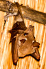 _MG_0873 fruit bat