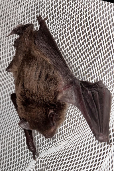 _MG_0739 bat okavango