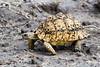_MG_0651 leopard tortoise  Geochelone pardalis