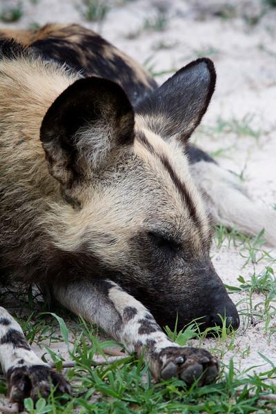 _MG_1373 African Wild Dog