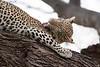 _MG_1025 leopard