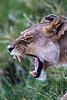 _MG_1508 lioness roar