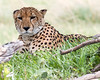 _MG_1394 cheetah