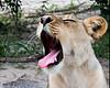 _m_1586 lioness yawn
