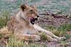 _MG_1069 lioness, Kalahari
