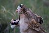 _MG_1504 lioness