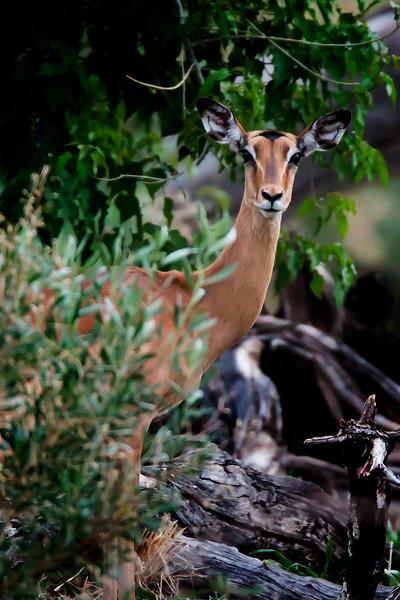 "_MG_1463 female impala ""takes a look"""