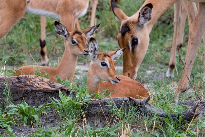 _MG_1538  Impala watching baby