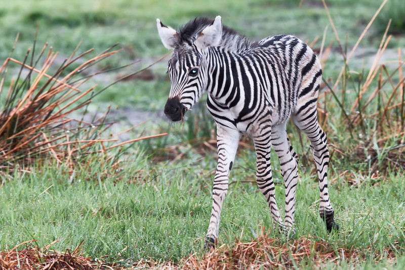 _MG_1518 unsteady young zebra