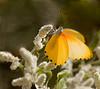 Butterfly- plenty of them seen here