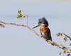 Giant kingfisher- forever sitting on the river bank watching for fish to swoop down on