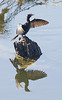 cormorant sunning its wings - a very common sight on the river