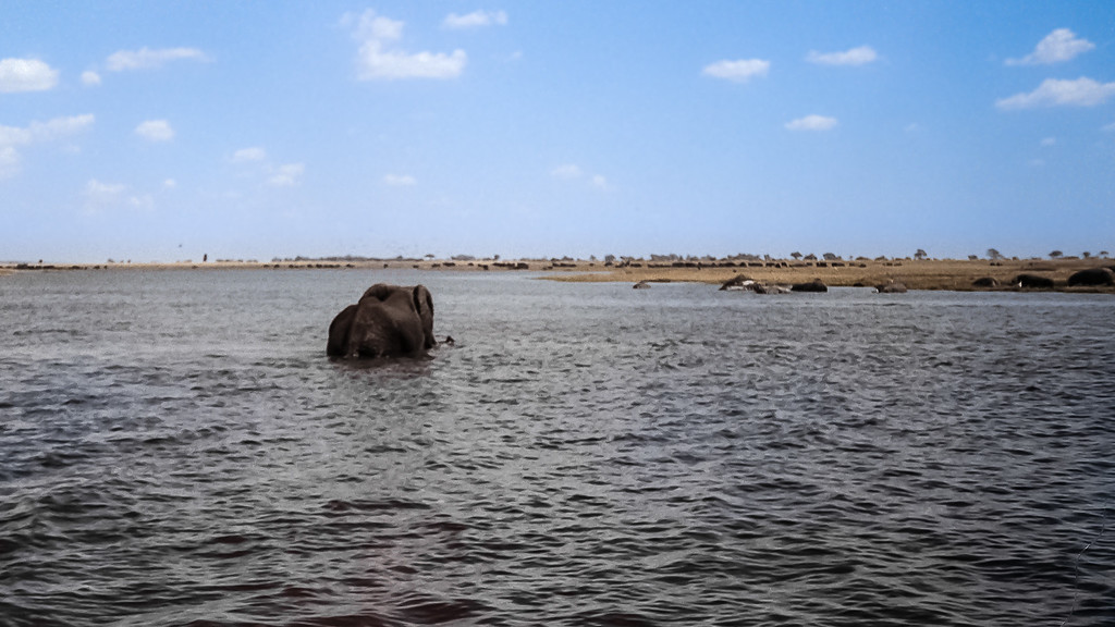 African Elephant Headed for the Island