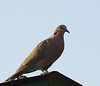 Red-eyed Dove (Maun Lodge)