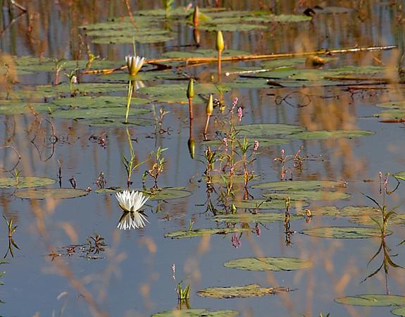 Lilies- Thamalakne river