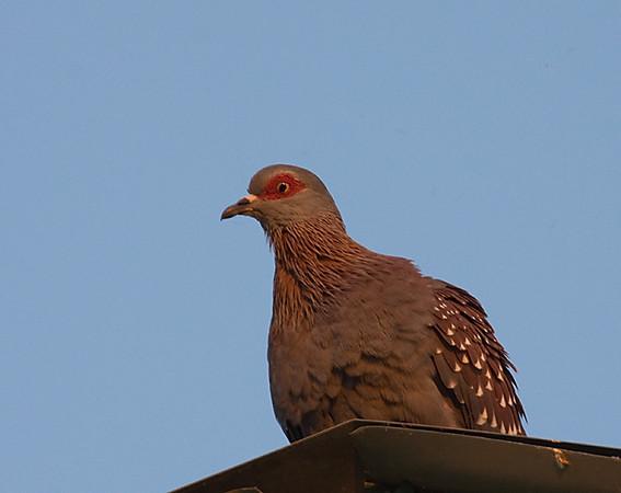 Speckled Pigeon (Maun Lodge)