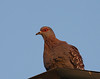 Speckled Pigeon (Maun Lodge)