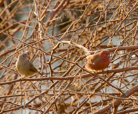 Firefinch (Maun Lodge)