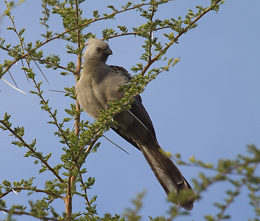 Go-away bird (Maun Lodge)