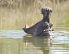 hipposinmarambariver02