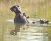 hipposinmarambariver01