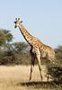 giraffes_savute211