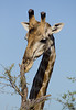 This giraffe was at this scratching post getting its itch out.