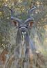 The Kudu bull with his harem