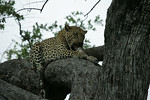 KA6P5187 Botswana, Okavanga, Game Park, Safari Leopard, Cat, Wild