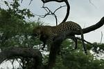 KA6P4419 Botswana, Okavanga, Game Park, Safari Leopard, Cat, Wild
