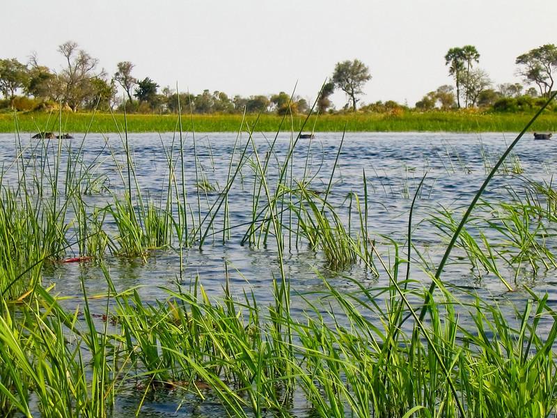 Hippopotamus (Hippopotamus amphibius), Okavango Delta