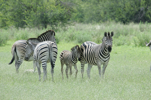 KA6P6603 Botswana, Okavanga, Game Park, Safari