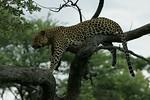 KA6P4427 Botswana, Okavanga, Game Park, Safari Leopard, Cat, Wild