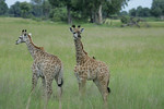 KA6P5394 Botswana, Okavanga, Game Park, Safari